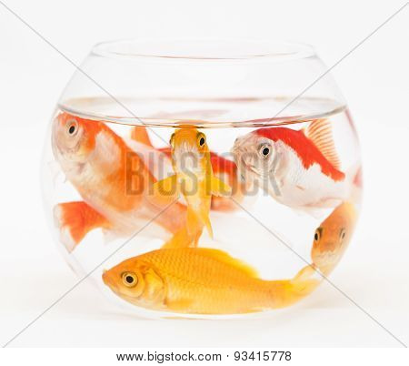 goldfishes in small fishtank
