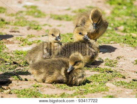 young greylag goslings