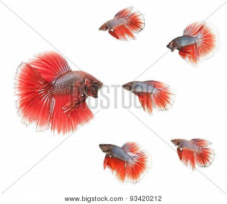 group of betta fishes isolated on white