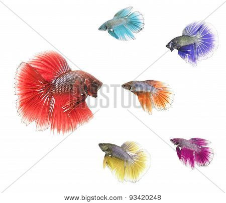 a group of different coloured siamese fighting fish confronting bigger one. The colors of the fish w