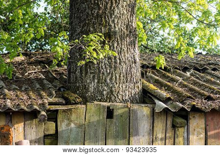 A Tree Growing Right Through The Broken Barn