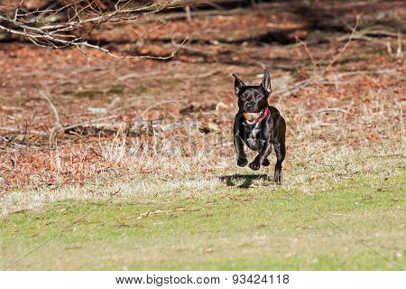 Dog emerging from woods with a ball