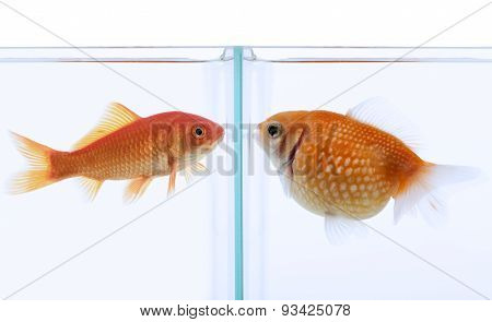 one fat and one slim fish confronted