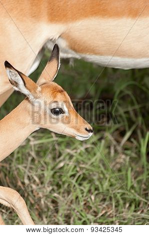 Potrait Of A Baby Impala