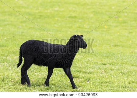 Young Black Horned Lamb Walking To The Right