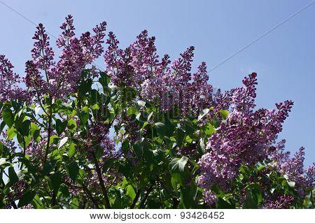 Lilac Selective Focus