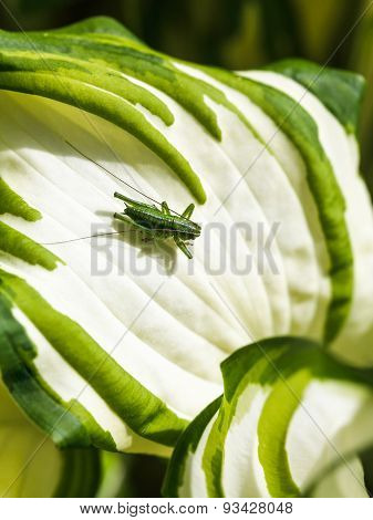 Green Grasshopper On White Leaf Of Hosta Plant