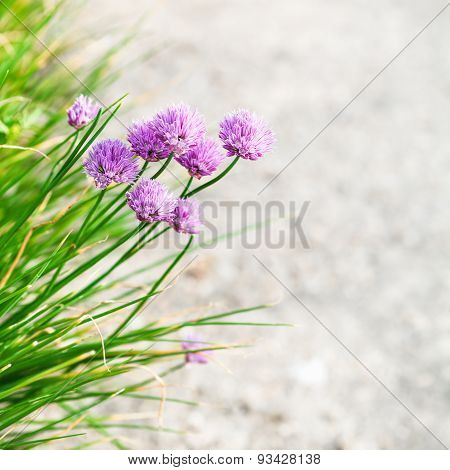 Pink Chives Flowers Close Up On Edge Of Pathway