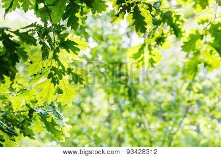 Green Oak Foliage In Summer Sunny Day