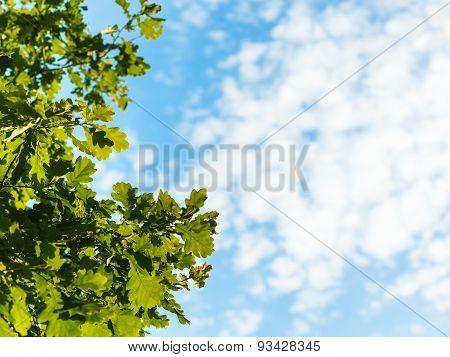 Sunlit Green Oak Leaves And Blue Sky