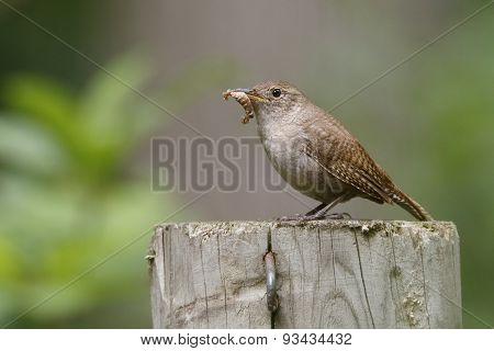 House Wren Eating a Caterpillar