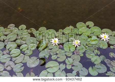waterlily and groups of leaves float on pond