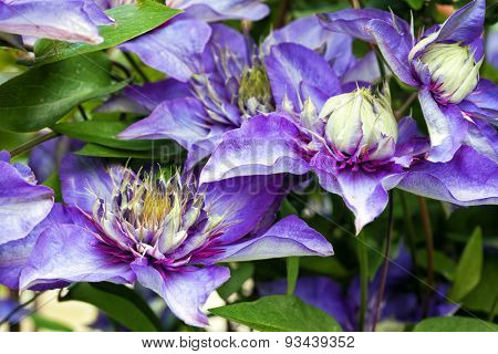 Closeup of Clematis flowers on a vine