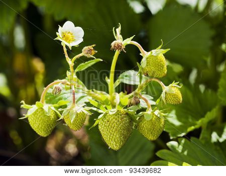 Green strawberries on branch ripening in sunlight