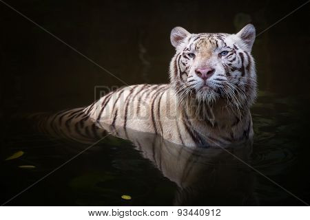 White tiger symbol of  success