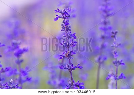 Beautiful flower background with Salvia farinacea Benth soft focus
