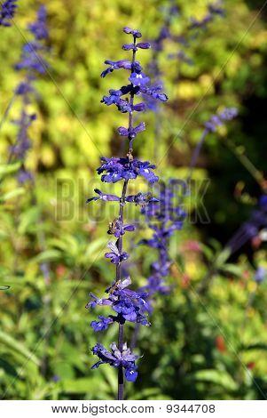 Purple Salvia Viridis (Sage) Flower