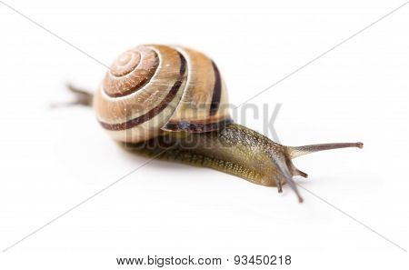 Brown snail on isolated white background