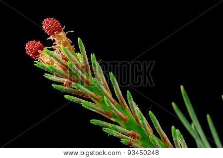 Close up of a spruce tree branch with red flowers