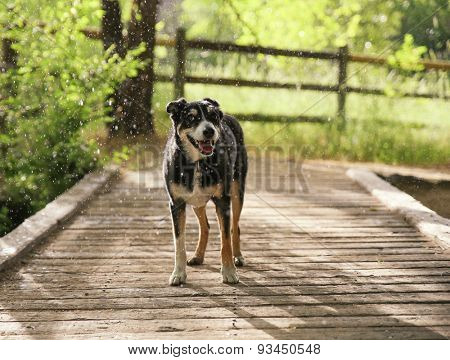 a dog out in nature in a thunderstorm with rain falling on her