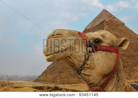 Camel Near The Pyramids Gazing With A Smile