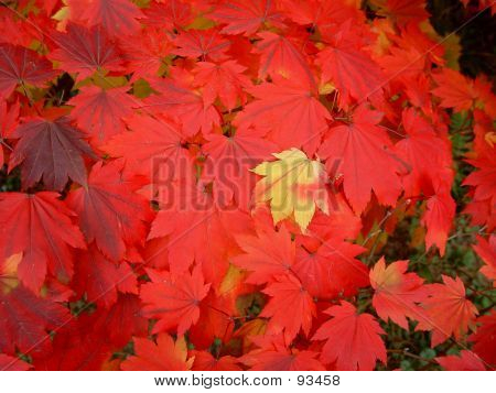 Japanes Maple Leaves Changing Colour - 2