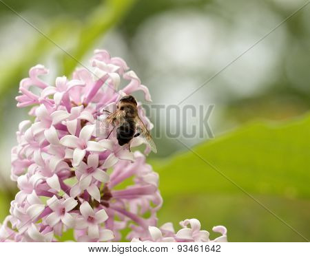 Insect Sitting On Lilac