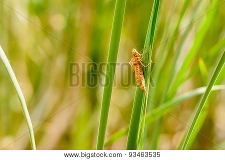 Dragonfly Nymph