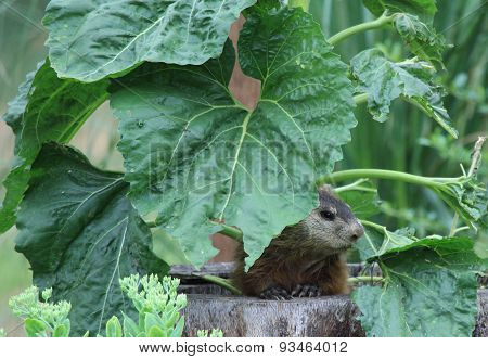 Groundhog Under Sunflower