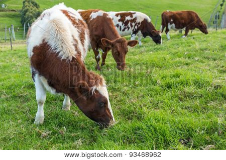 Brown cows eating green grass