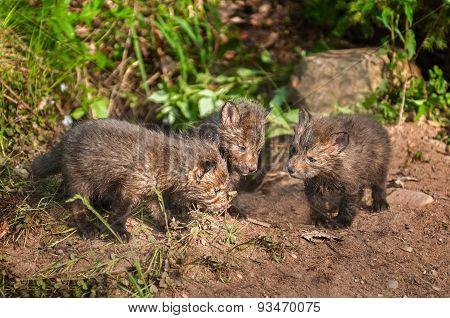 Red Fox Kit (vulpes Vulpes) Conference