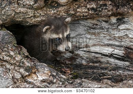 Baby Raccoon (procyon Lotor) Looks Out From Downed Tree