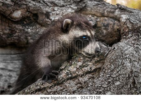 Baby Raccoons (procyon Lotor) Lies In Downed Tree