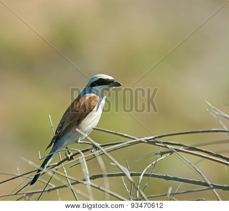 Red-backed Shrike