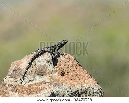 Starred Agama Lizard