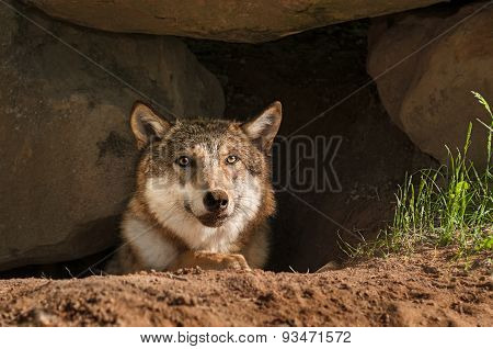 Grey Wolf (canis Lupus) Pokes Head Out Of Den