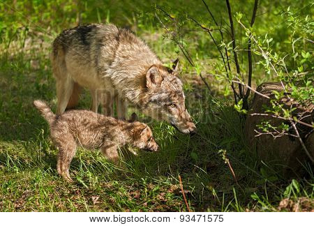 Grey Wolf (canis Lupus) Mother And Pup Peer Into Shadow