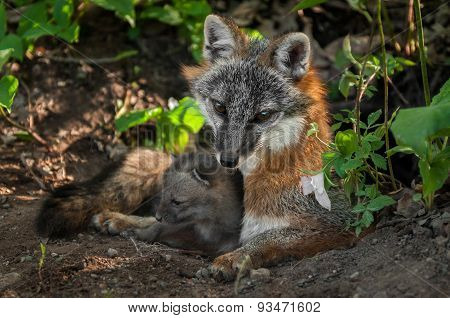 Grey Fox Vixen & Kit (urocyon Cinereoargenteus) Snuggle In Den Entrance