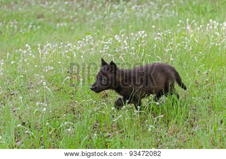 Black Wolf (canis Lupus) Pup Runs Through Wet Grass