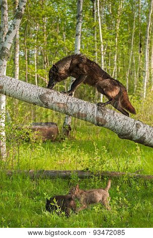 Black Wolf (canis Lupus) Climbs Up Tree