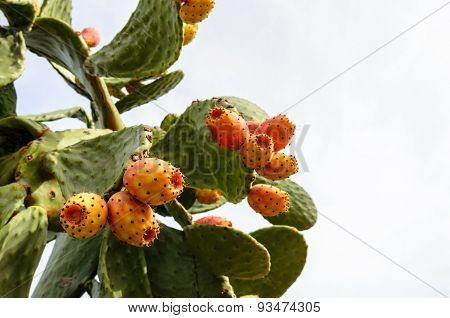 Prickly pear cactus with orange fruits.