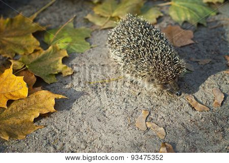 Small  Hedgehog Walking In The Grass