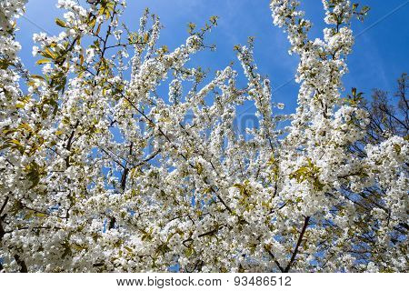 White blossom on cherry tree