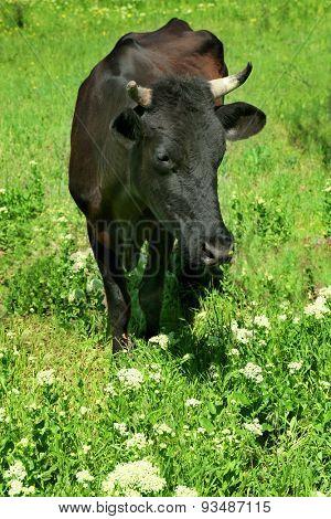Paddock livestock in lawn