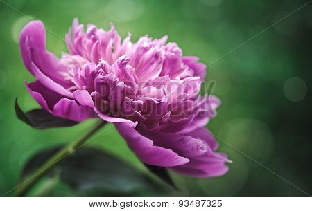 Peony flower over abstract green backgrounds. Floral backgrounds with beauty bokeh