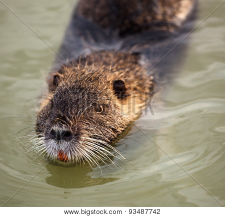 Coypu Swimming In The Water