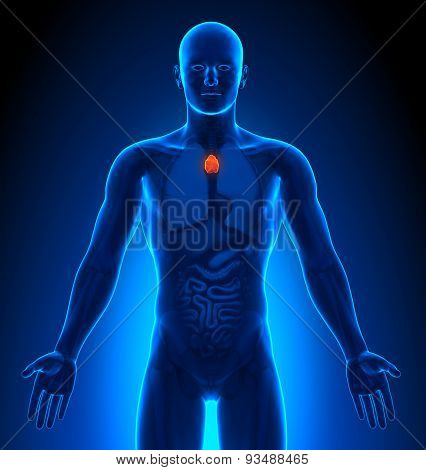Medical Imaging - Male Organs - Thymus