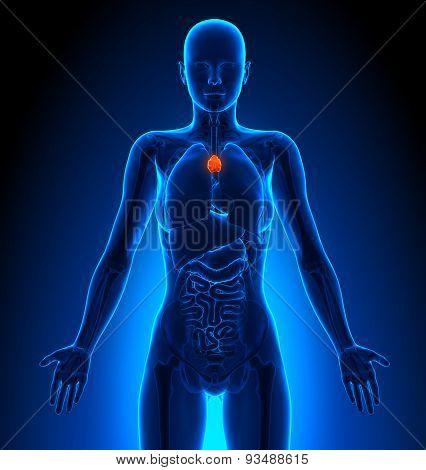 Thymus - Female Organs - Human Anatomy