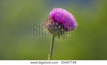 Purple Thistle. Carduus Nutans Linnaeus.