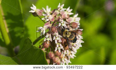 Common Milkweed. Asclepias syriaca. Bumblebee.